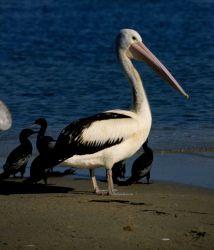 The Australian pelican (Pelecanus conspicillatus) Photo