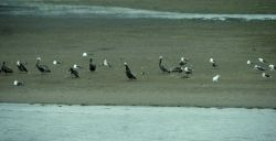 Brown pelicans (Pelecanus occidentalis) and a variety of other sea birds. Photo