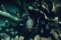 Dusky damselfish (Stegastes dorsopunicans) in coral Photo