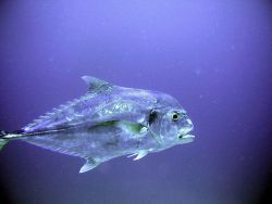 African pompano (Alectis ciliaris) Photo