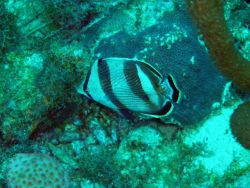 Banded butterflyfish (Chaetodon striatus) Photo