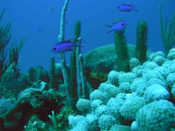 Blue chromis (Chromis cyanea) Photo