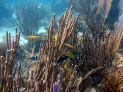 Bluehead (Thalassoma bifasciatum) Photo
