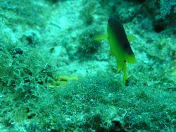 Cocoa damselfish (Stegastes variabilis) Photo