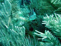 Foureye butterflyfish (Chaetodon capistratus) Photo
