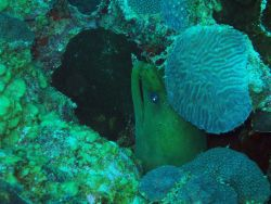 Green moray (Gymnothorax funebris) Photo