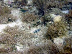 Harlequin bass (Serranus tigrinus) Photo