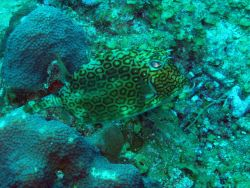 Honeycomb cowfish (Acanthostracion polygonia) Photo