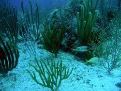 Longspine squirrelfish (Holocentrus rufus) Photo