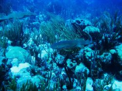 Nurse shark (Ginglymostoma cirratum) Photo
