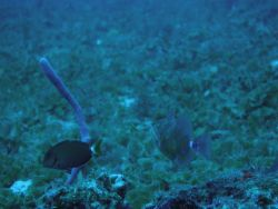 Ocean surgeonfish (Acanthurus bahianus) Photo