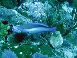 Princess parrotfish (Scarus taeniopterus) Photo