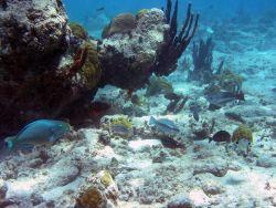 Queen parrotfish (Scarus vetula) Photo