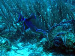 Queen triggerfish (Balistes vetula) Photo