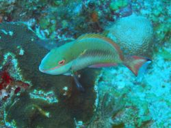 Redband parrotfish (Sparisoma aurofrenatum) Photo