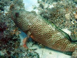 Red hind (Epinephelus guttatus) Photo