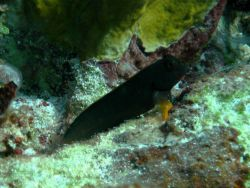 Redlip blenny (Ophioblennius macclurei) Photo