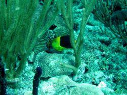Rock beauty (Holacanthus tricolor) Photo