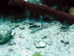 Saddled blenny (Malacoctenus triangulatus) Photo