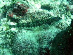 Sand diver (Synodus intermedius) Photo