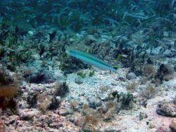 Sand tilefish (Malacanthus plumieri) Photo
