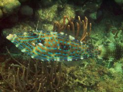 Scrawled filefish (Aluterus scriptus) Photo