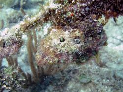 Secretary blenny (Acanthemblemaria maria) Photo