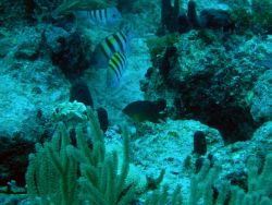 Sergeant major (Abudefduf saxatilis) and cocoa damselfish (Stegastes variabilis) Photo