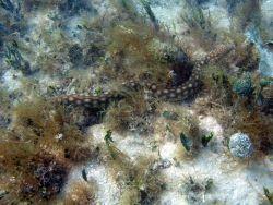 Sharptail eel (Myrichthys breviceps) Photo