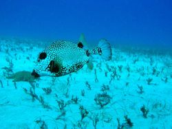 Smooth trunkfish (Lactophrys triqueter) Photo