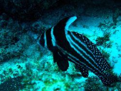 Spotted drum (Equetus punctatus) Photo