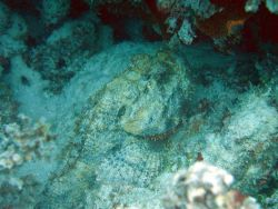 Spotted scorpionfish(Scorpaena plumieri) Photo