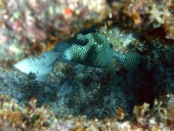 Spotted trunkfish (Lactophrys bicaudalis) Photo