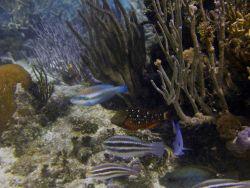 Striped parrotfish (Scarus iseri) Photo