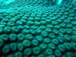 Translucent triplefin (Enneanectes sp.) on a great star coral (Montastraea cavernosa) Photo