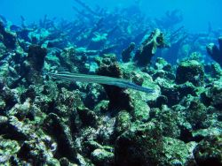 Trumpetfish (Aulostomus maculatus) Photo