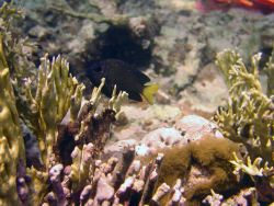 Yellowtail damselfish (Microspathodon chrysurus) Photo