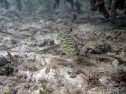 Checkered puffer (Sphoeroides testudineus) Photo