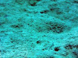Dash goby (Ctenogobius saepepallens) Photo