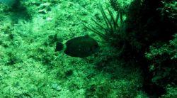 Doctorfish (Acanthurus chirurgus) Photo