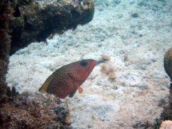 Red hind (Epinephelus guttatus) Photo