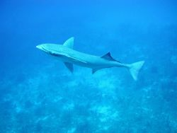 Sharksucker (Echeneis naucrates) Photo