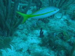 Yellowtail snapper (Ocyurus chrysurus) Photo