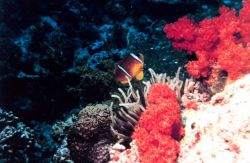 Two-banded clown fish (Amphiprion bicinctus) Photo