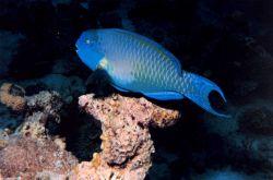 Gibbus parrotfish (Scarus gibbus) Photo