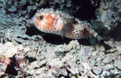 Yellowspotted burrfish (Cyclichthys spilostylus) Photo
