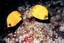 Masked or blue cheek butterfly fish (Chaetodon semilarvatus) Photo