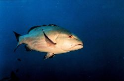 Two-spot red snapper (Lutjanus bohar) Photo