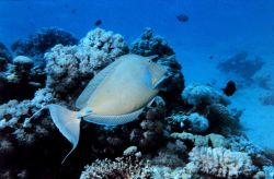 Bluespine unicornfish (Naso unicornis) Photo