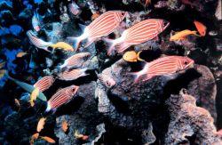 Crown squirrelfish (Sargocentrus diadema) Photo